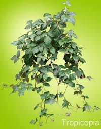 how to grow grape ivy plants care tips houseplant 411 how to