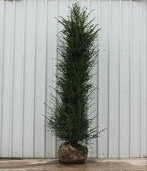 native hedging plants uk when to plant a hedge june u0027s hedges direct blog