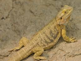 Bearded Dragon Behavior Before Shedding by Skin Types Exclusive Dragons