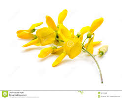 Yellow Flower - yellow flower sesbania isolated stock images image 35719394