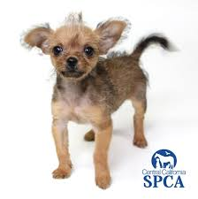 affenpinscher and chihuahua juan pablo id 28111531 is a 6 week old male brown and black