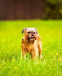 affenpinscher brussels griffon rescue brussels griffon dog breed information pictures characteristics