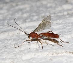 Small Black Flying Bugs In Bathroom Bug Eric Wasp Wednesday Netelia