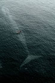 144 best whales images on pinterest whales blue whale and