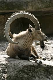 Get Your Goat Rentals by 159 Best Goats Images On Pinterest Animals Wild Animals And Sheep