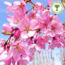 prunus pendula pendula rubra single pink weeping cherry trees