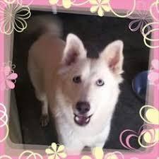 american eskimo dog ontario american eskimo dog is amazing americaneskimodog dogs