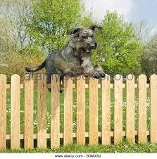 australian shepherd jumping fence dogs jumping fence stock photos u0026 dogs jumping fence stock images