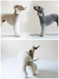 bedlington terrier guard dog 50 best bedlington terriers images on pinterest terrier dogs