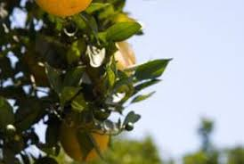 how to grow republic of orange trees home guides sf gate