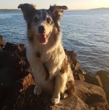 2 g rose australian shepherds ahimsa dog training seattle home facebook