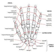 Appendicular Skeleton Worksheet Bone On Hand And Foot Diagram Quiz Key Bones Of The Appendicular
