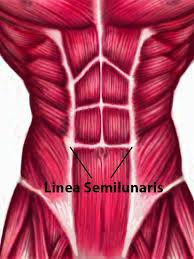 Abdominal Anatomy Quiz Anatomy Abdomen Muscles Linea Semilunaris