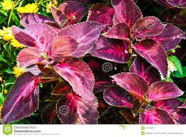 How To Grow Coleus Plants by Durable Foliage Plants Flaming Magenta Foliage Coleus