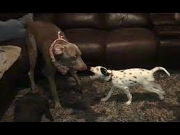 weimaraner vs afghan hound weimaraner puppy video funnydog tv