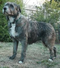 bearded collie x terrier wolfhound cross dogs pinterest wolfhound and dog