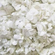 white hydrangea white hydrangea petals