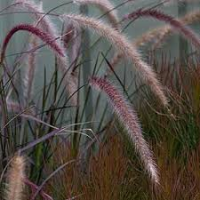ornamental grasses for gardens landscaping nurseries