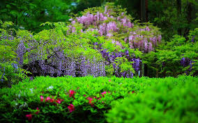 wisteria flower wallpaper flower dreams
