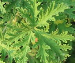 mosquito plants mosquito plant geranium how to care for citronella mosquito plants