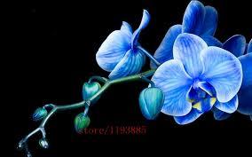 blue orchid flower 100pcs bag purple blue orchid seeds phalaenopsis orchid bonsai