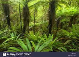 rainforest native plants pristine rainforest with many tree fern and lush moss and stock