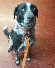 bluetick coonhound dander view ad bluetick coonhound border collie mix dog for adoption