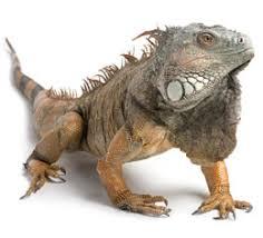 imágenes de iguanas verdes especies reptiles iguana verde