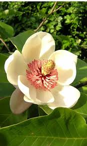 magnolia tips gardening pictures care meaning growing