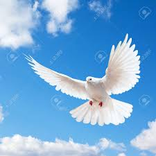 white dove images stock pictures royalty free white dove photos