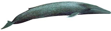 Whale by Blue Whale
