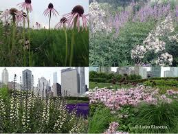 chicago native plants 5 10 5 laura ekasetya horticulturist lurie garden u2013 plinth et al