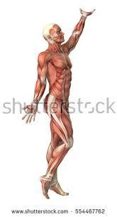 Male Dolphin Anatomy 3d Digital Render Male Anatomy Figure Stock Illustration 325594337