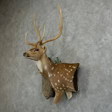 Deer Pedestal Axis Deer Taxidermy Shoulder Mount For Sale 16043 The Taxidermy