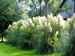 landscaping with ornamental grasses fence grasses and