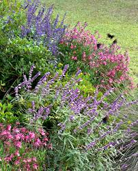 native north texas plants salvias are a plant for all seasons