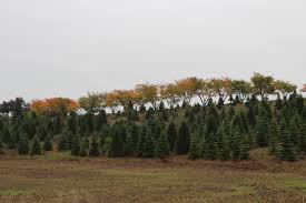 christmas tree farm free stock photo public domain pictures