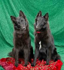 belgian sheepdog laekenois shetara u003d akc belgian sheepdog puppies and adults available