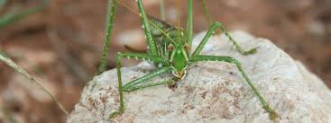 katydid bill mark bell jpg