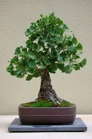 bonsai australian native plants 415 best bonsai kokedama images on pinterest bonsai trees