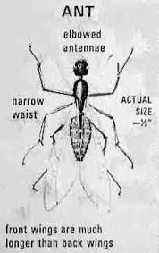 carpenter ants recognition inspection for infestation
