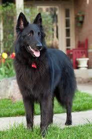 belgian shepherd killed belgian sheepdog u2013 doggerel