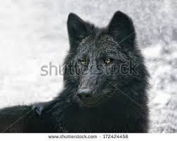 belgian shepherd timberwolf wolf looking stock images royalty free images u0026 vectors