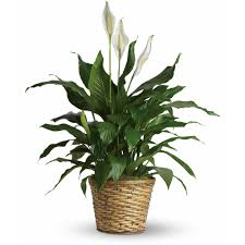 peace lilly peace spathiphyllum medium in racine wi petals by felicia