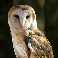What Does A Barn Owl Look Like Barn Owl Ontario Ca