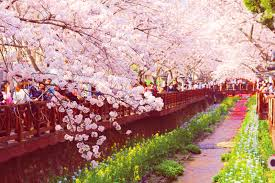 cherry blossom in gyeongju korea u2013 i am on the road