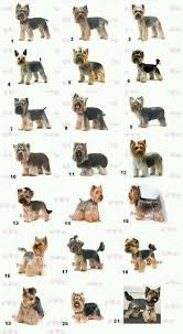 yorkie haircuts for a silky coat yorkie haircut guide 9 looks best for nika yorkie haircuts