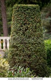 Yew Topiary - yew topiary stock images royalty free images u0026 vectors shutterstock