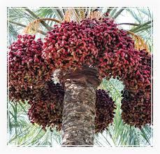fresh dates fruit fresh dates fruit fresh dates fresh dates exporter in gujarat