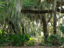 mesmerized by stunning spooky moss hanging from ancient trees